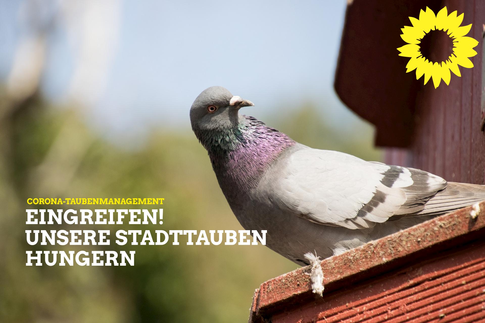 Corona-Taubenmanagement: Eingreifen! Unsere Stadttauben hungern